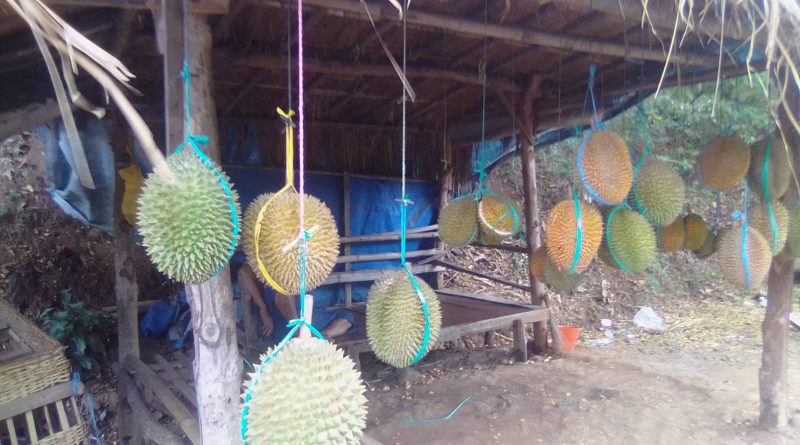 Mengintip Harga Buah Durian Asli Sawahan Nganjuk di Bulan Awal Musim Panen